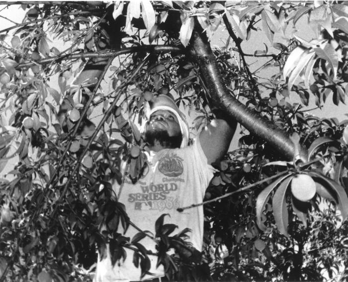 Migrant Farmworker in Tree