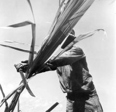 Planting, wedding, sugarcane