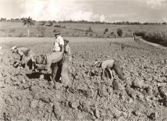 Planting, weeding, sugarcane