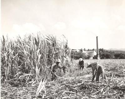 Sugar cane workers in the field
