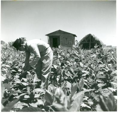 Farm worker in tobacco field