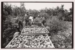 Farm workers picking peaches